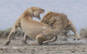 ლომები ორთაბრძოლის დროს - ფოტოკონკურსი
